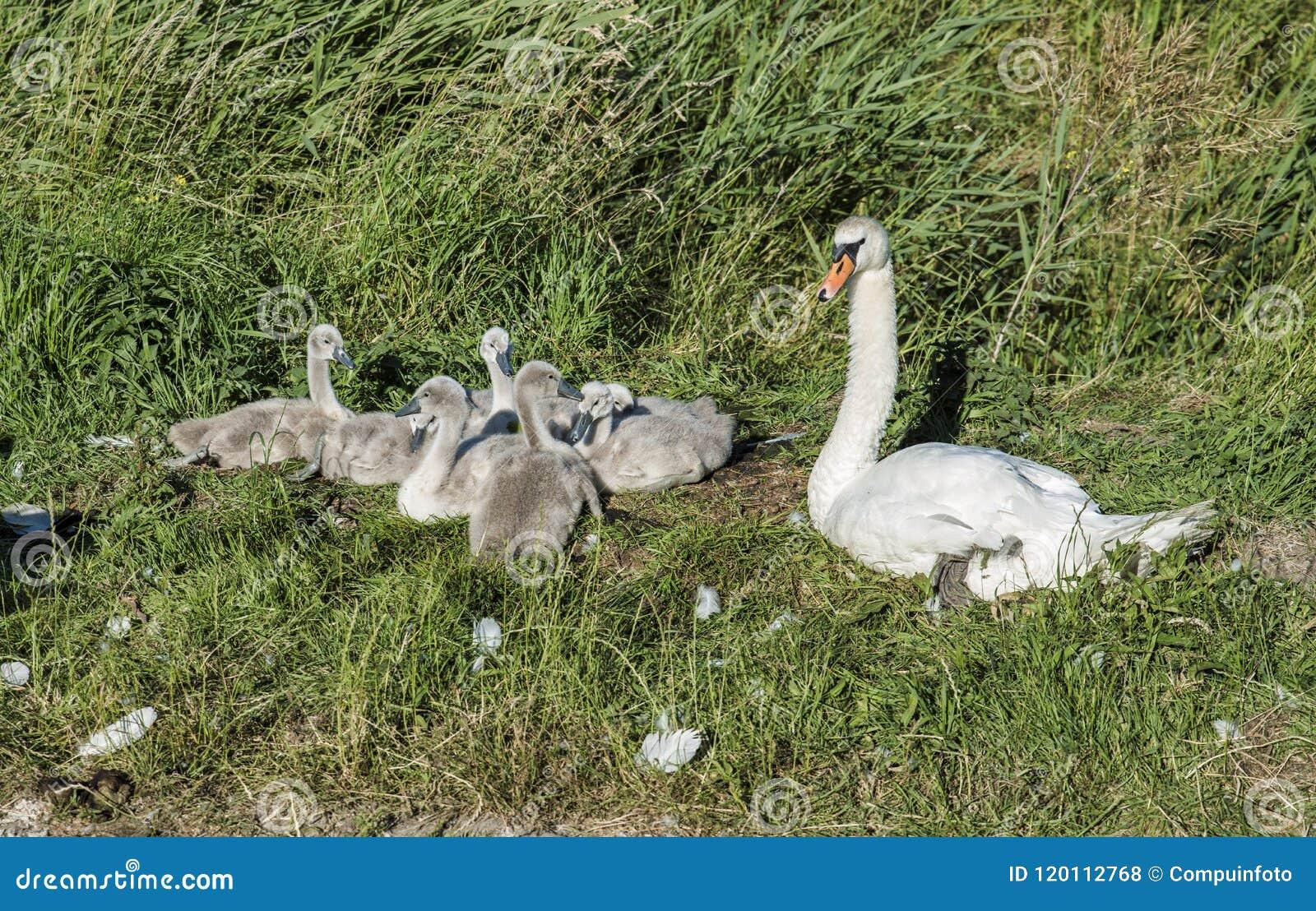 与幼小天鹅的母亲天鹅