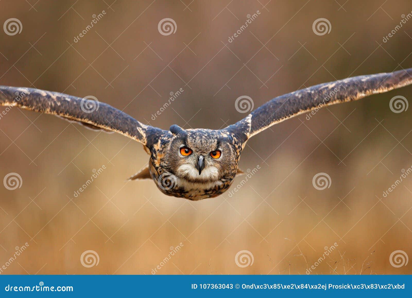 与开放翼的飞鸟在草草甸,面对面的细节攻击飞行画象,橙色森林在背景中,欧亚混血人Ea
