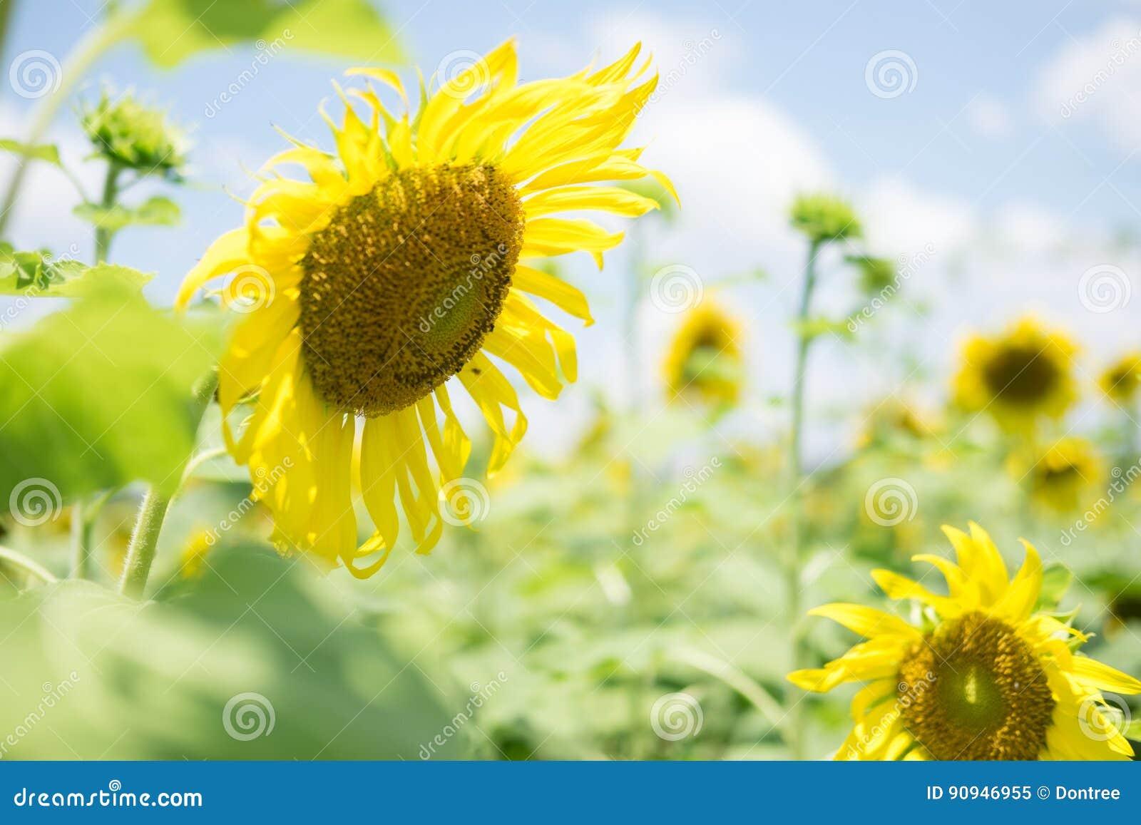 与开花的向日葵开花的领域