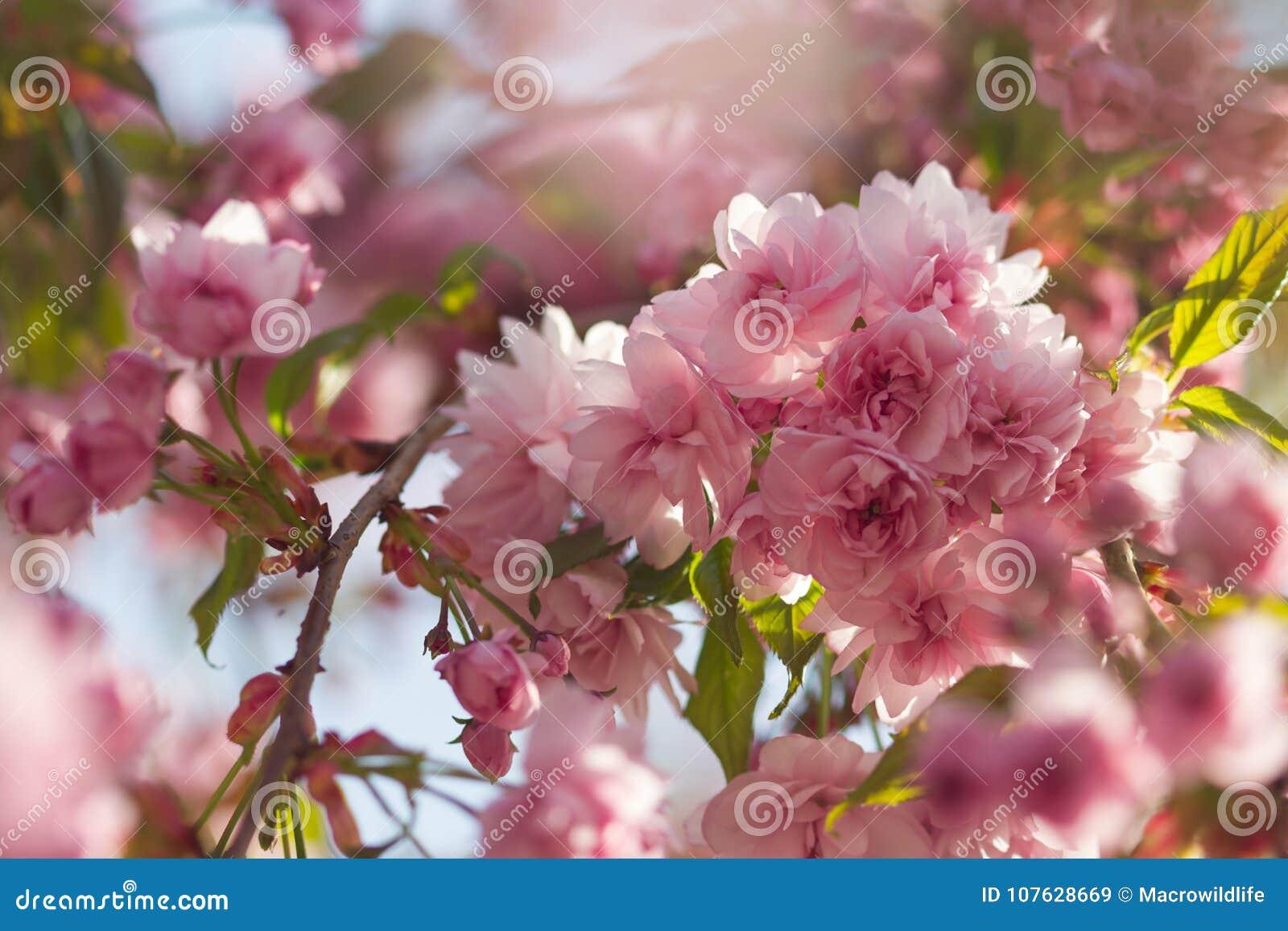 与开花的日本樱花佐仓开花桃红色的春天背景发芽与软的阳光软的焦点