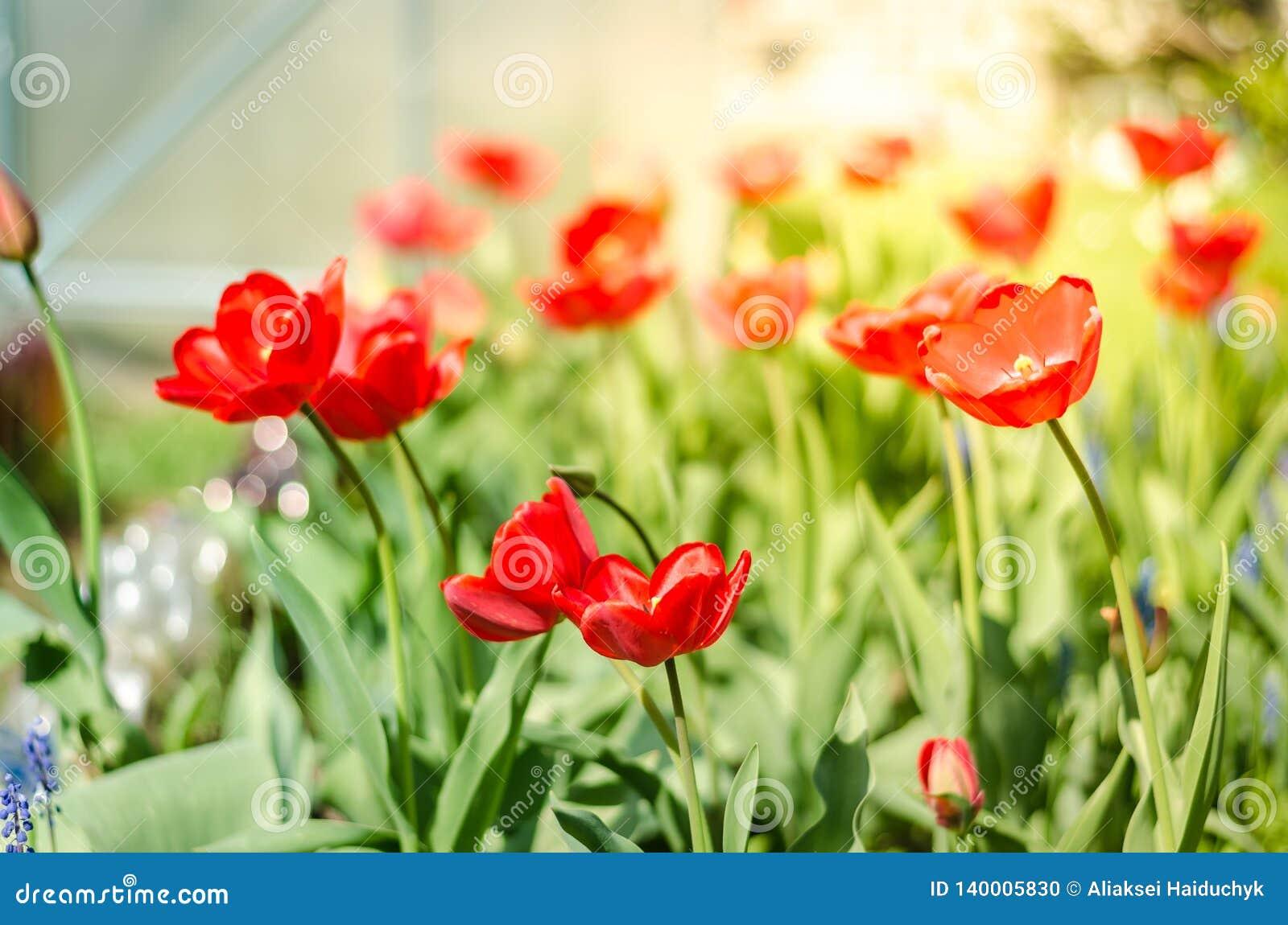与开花的红色郁金香的美好的自然场面在太阳火光春天花 美丽的草甸 领域花郁金香