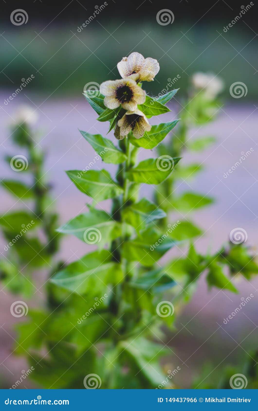 与开花的草甸轻轻地奶油色花的茎 焦点中心 焦点在中心