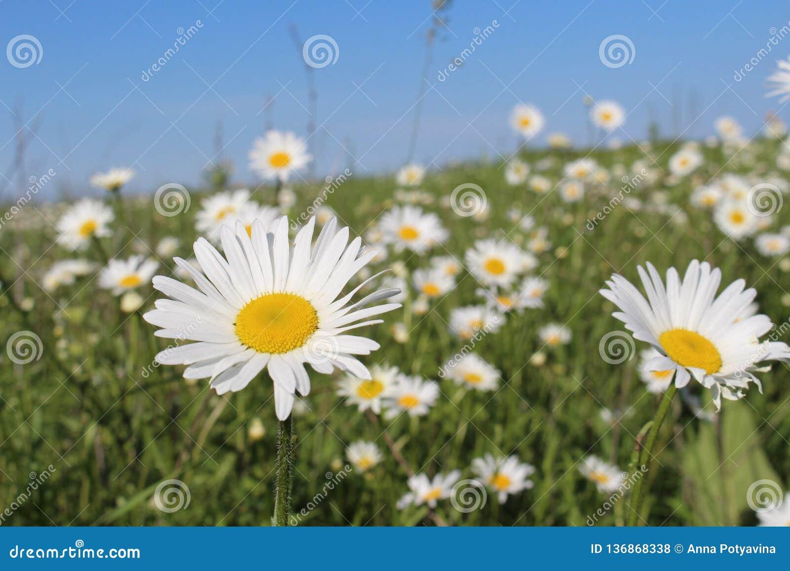 与开花的雏菊的领域