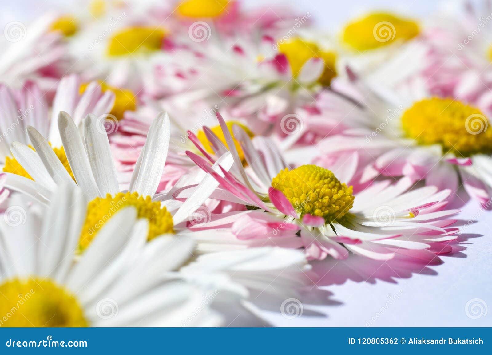 与戴西的被隔绝的背景开花与一个黄色核心和桃红色瓣