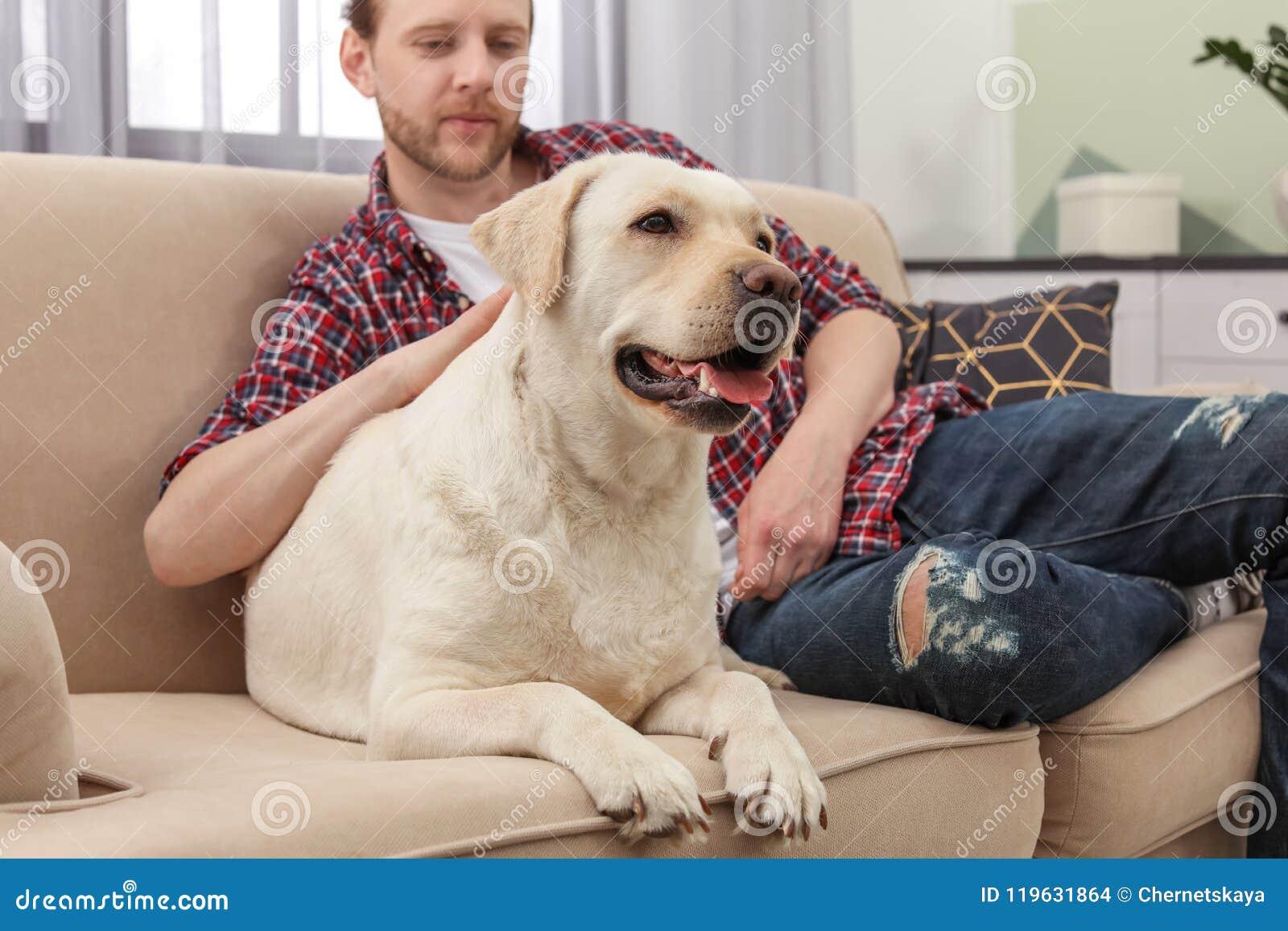 三级人与兽黄色_与所有者的可爱的黄色拉布拉多猎犬. 户内, 致力.
