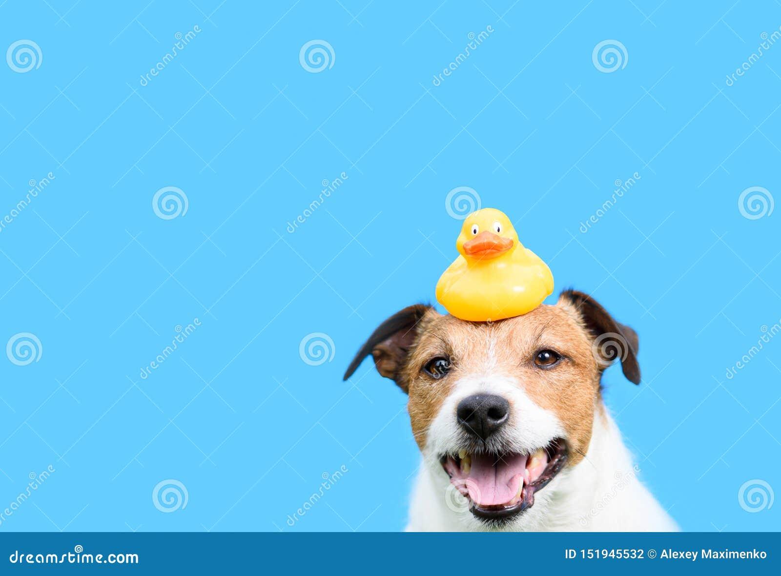 与拿着在头的狗的修饰,卫生学和关心概念黄色橡胶鸭子