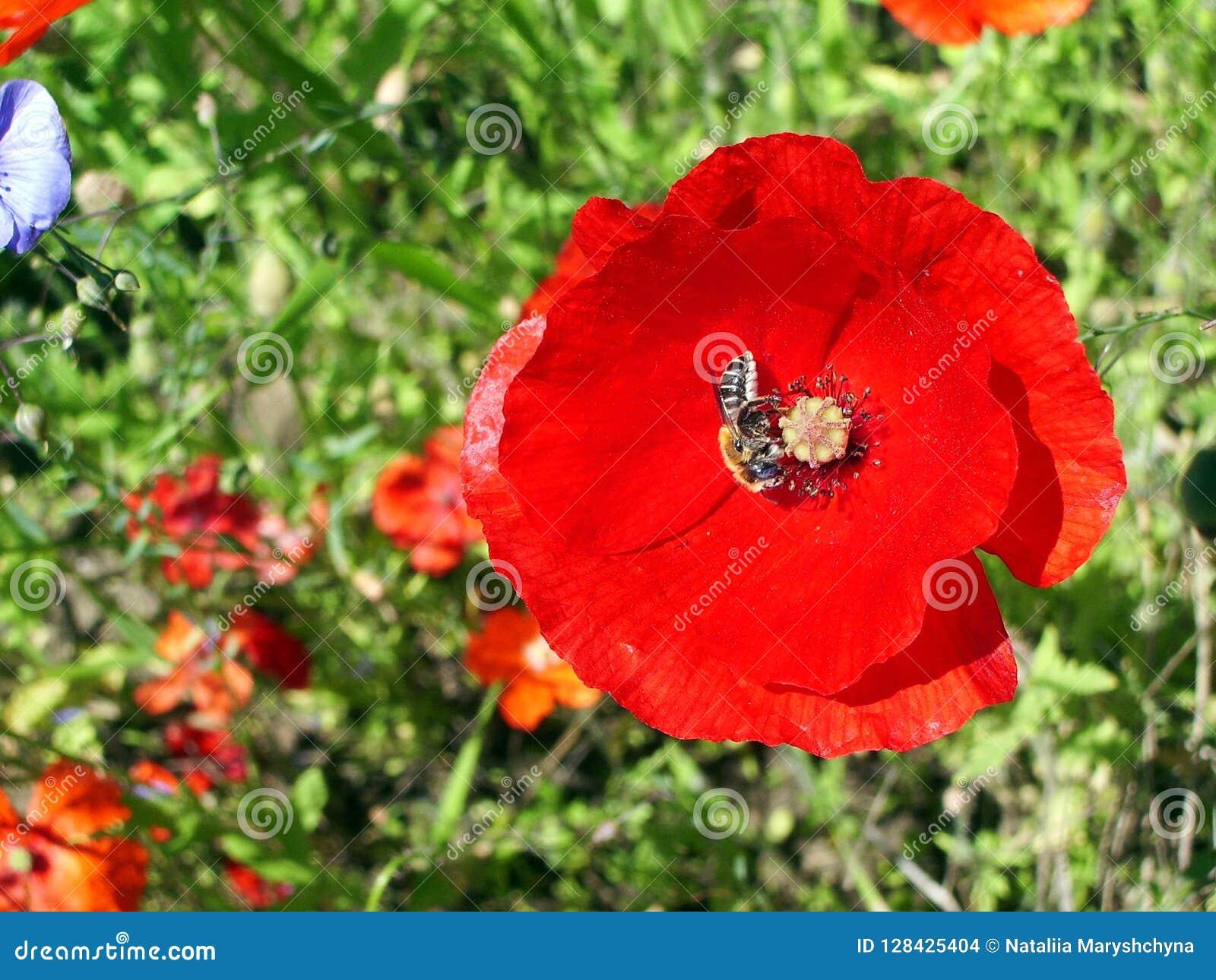 与收集在绿色背景的蜂的鸦片花蜂蜜