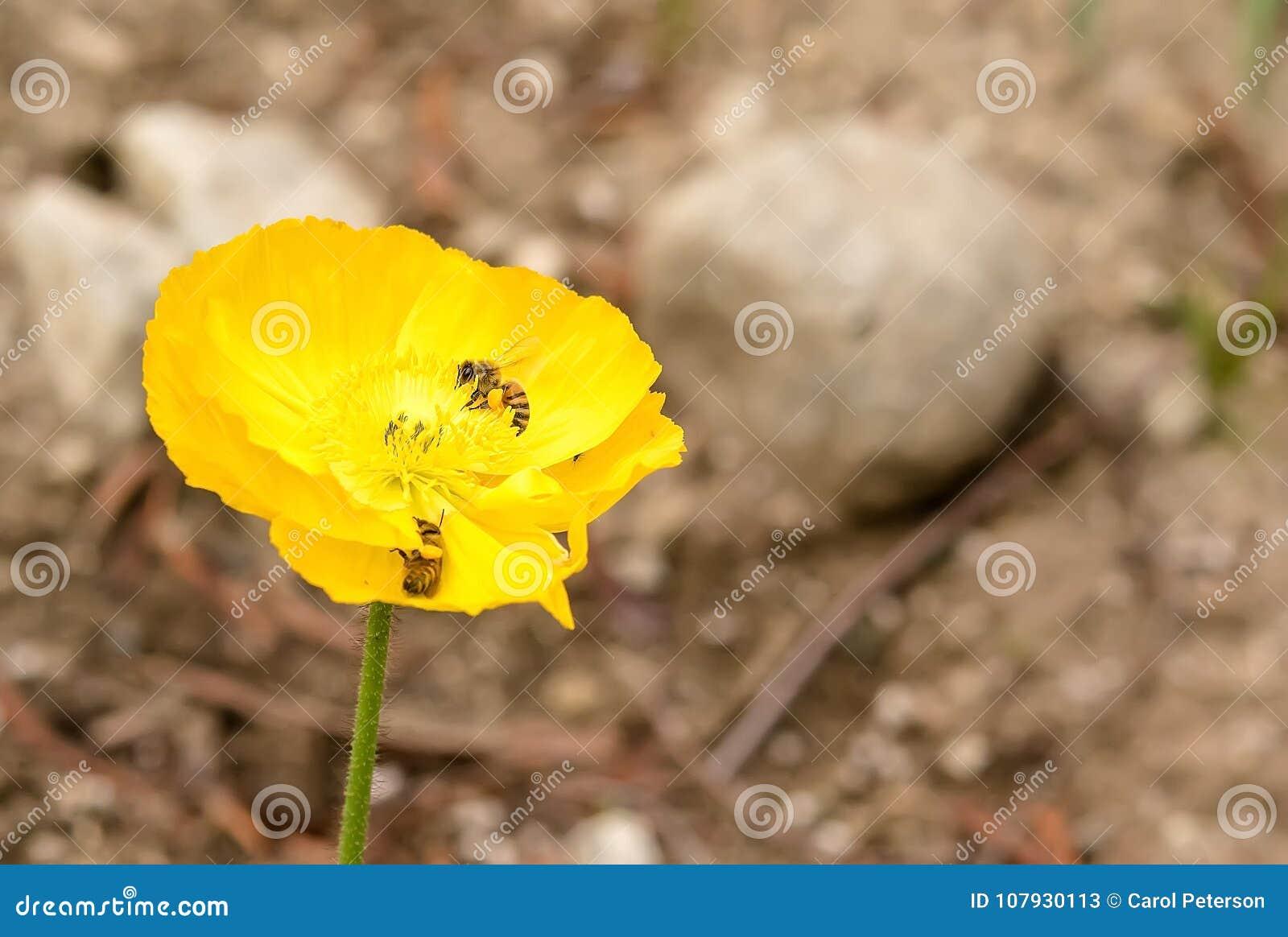与收集花粉的蜂的黄色鸦片