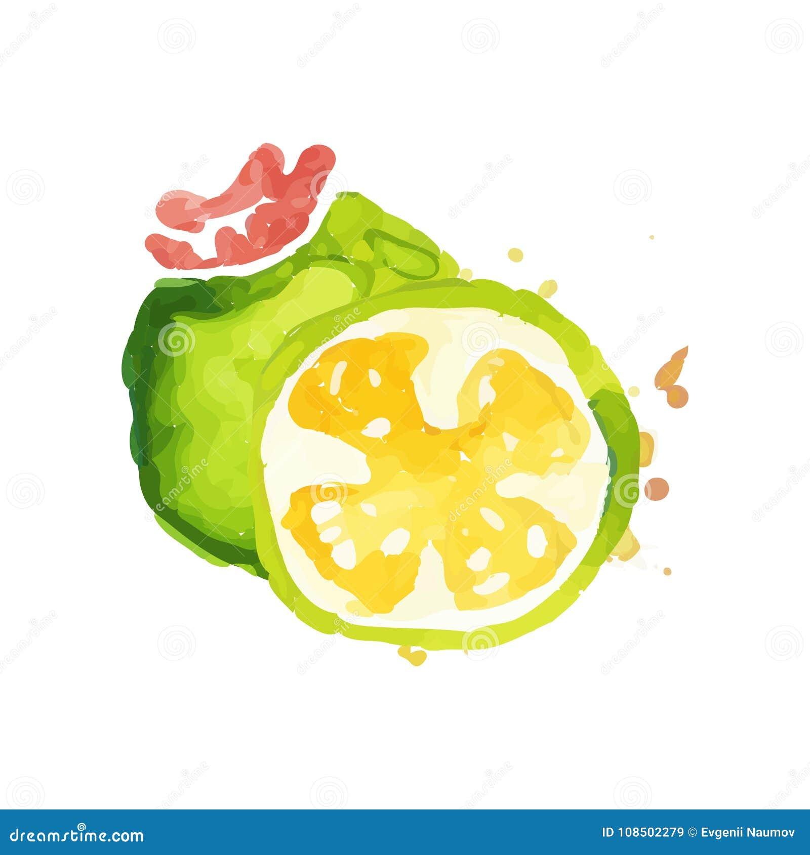 与整个和切片的手拉的水彩绘画水多的feijoa 健康营养 有机和鲜美食物 热带