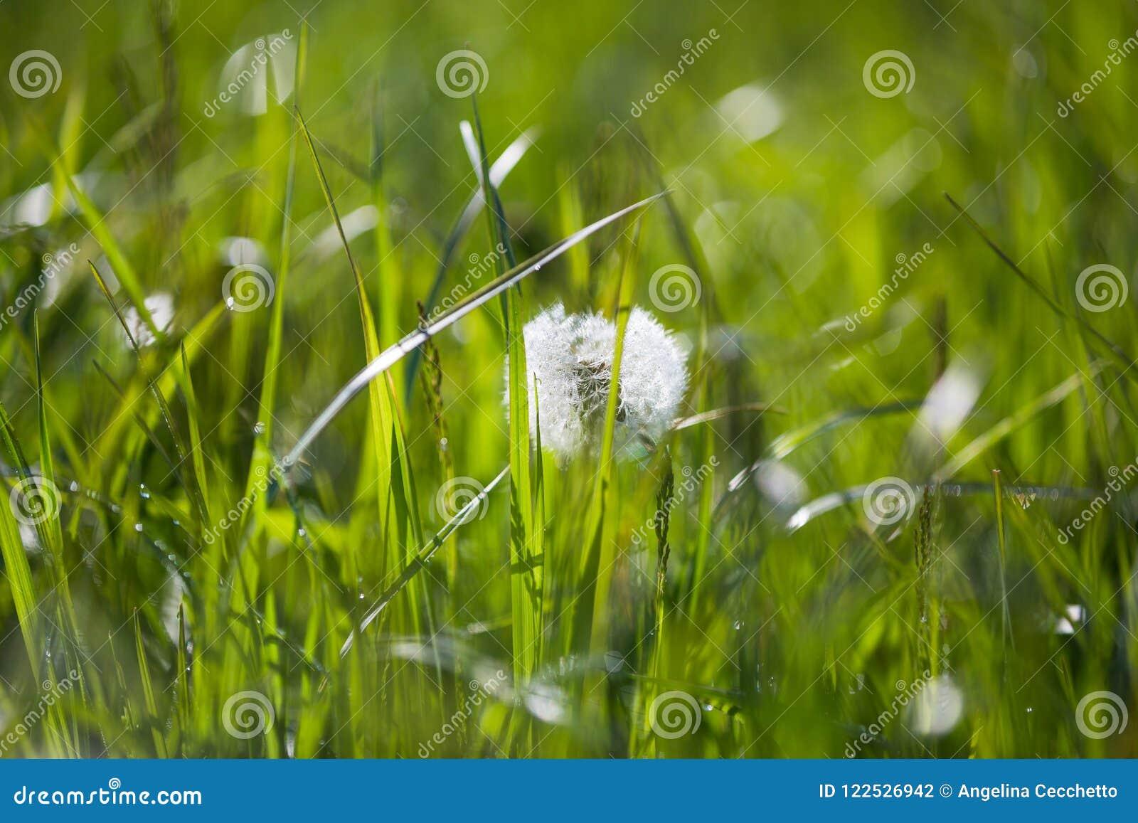 与早晨露水的蒲公英种子在绿色领域在春天