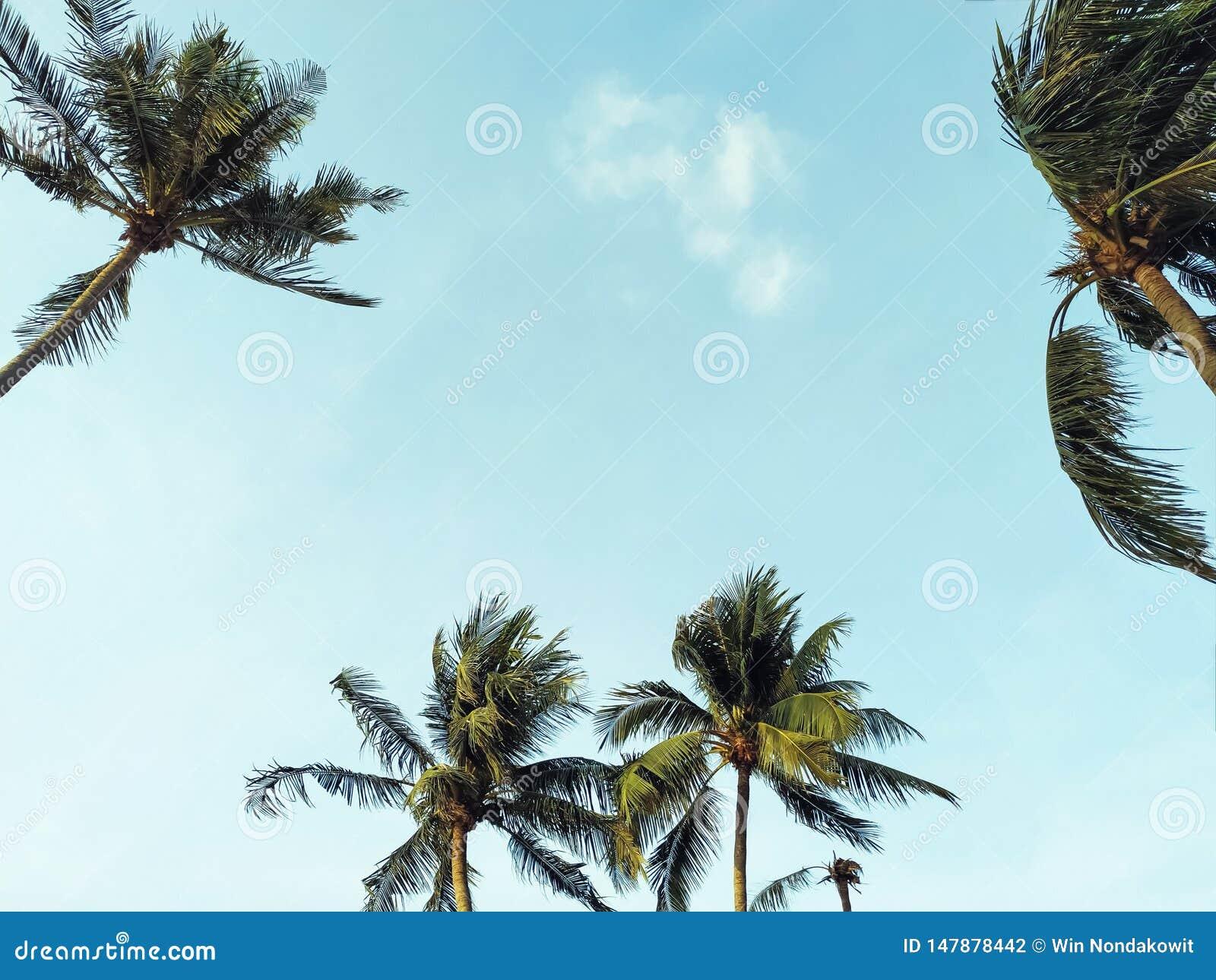 与晴朗的天空的可可椰子树
