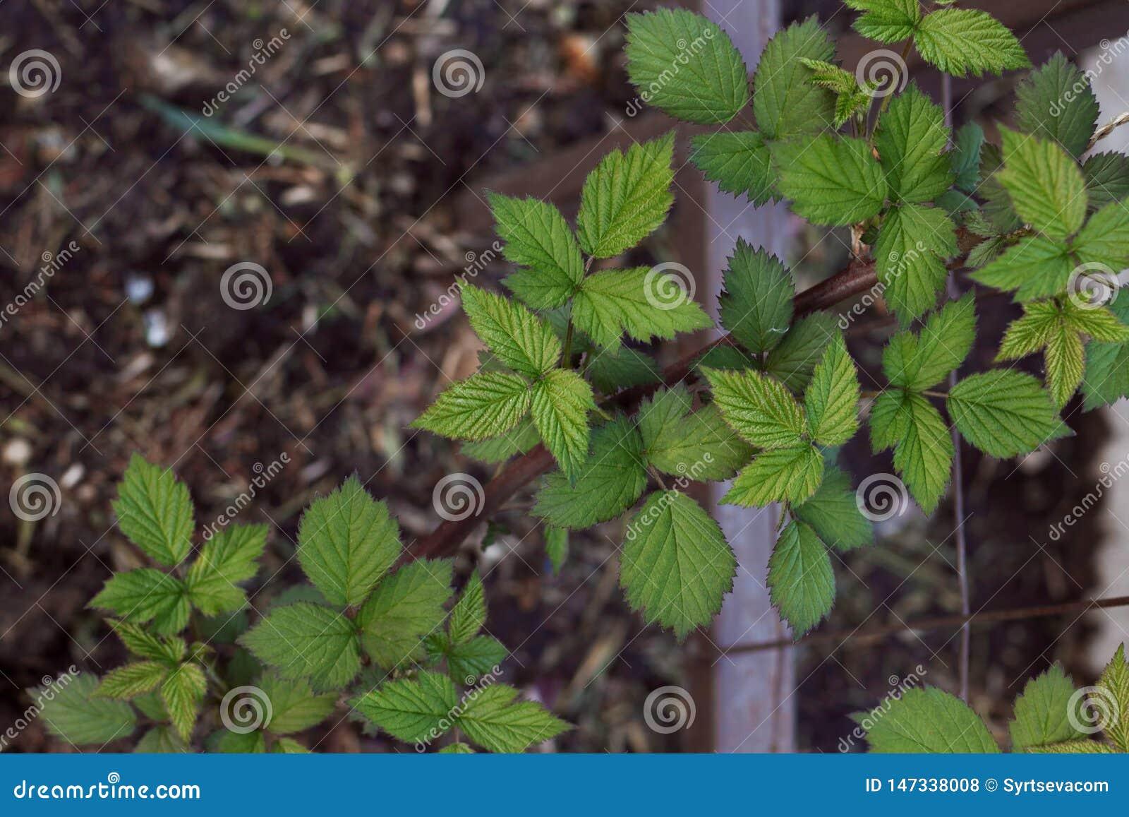 与最近发芽的新鲜的叶子特写镜头的黑莓庭院分支在土壤背景