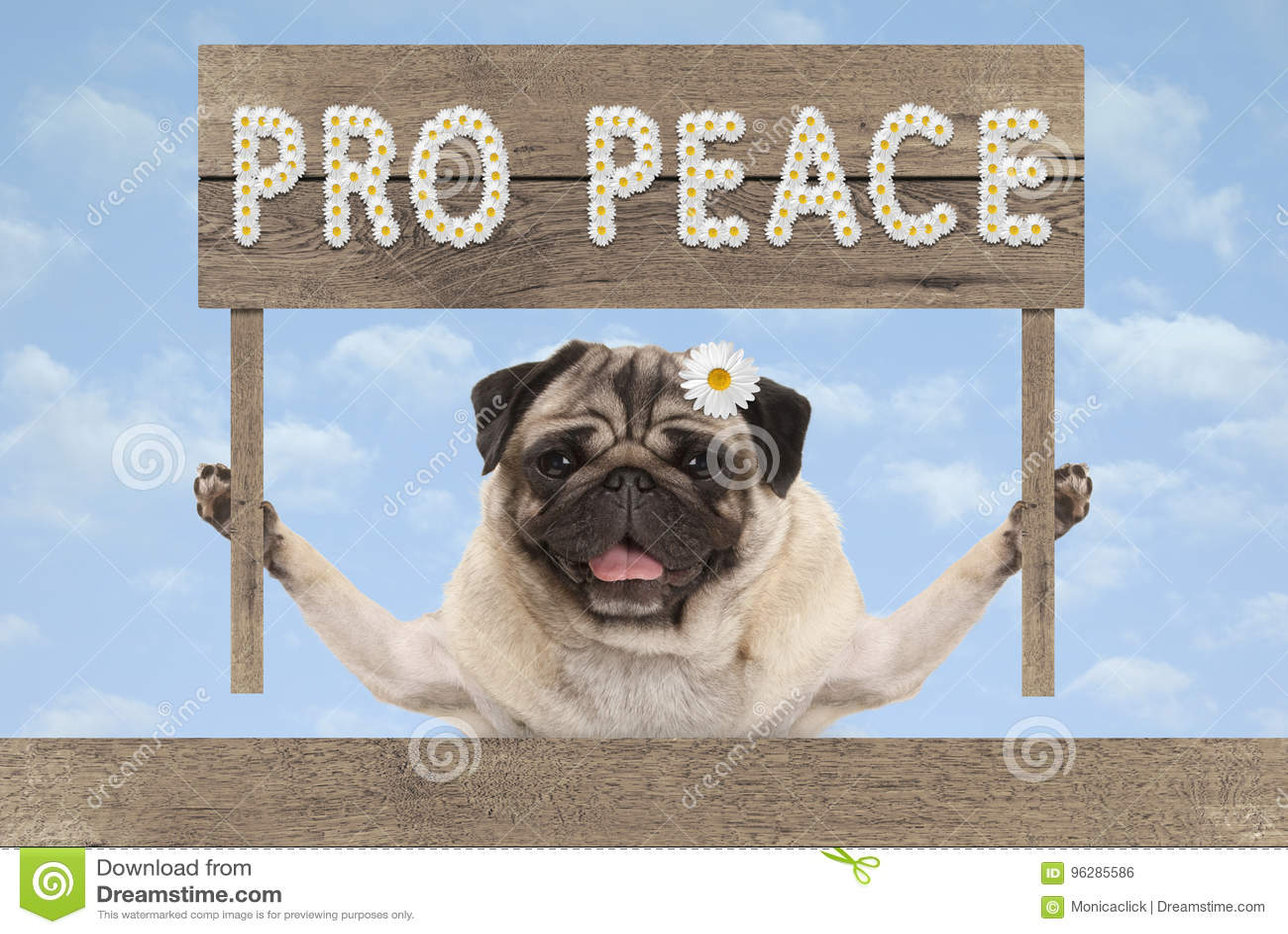 与木标志和文本赞成和平的愉快的微笑的哈巴狗小狗在白花