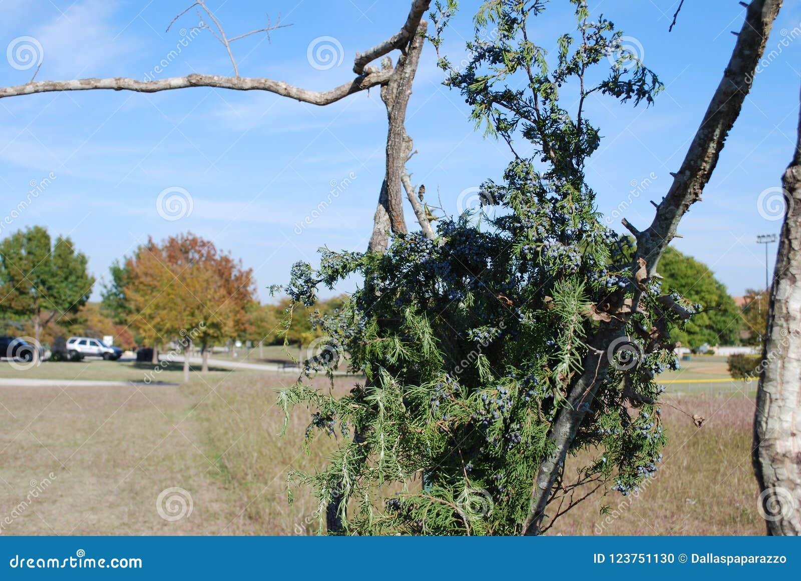 与杉木弓形式传统Keltic婚礼的框架修改