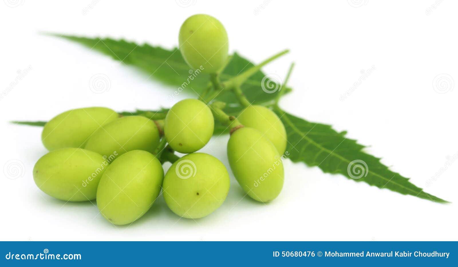 Download 与枝杈的医药neem果子 库存照片. 图片 包括有 果子, 新鲜, 属性, 草本, 空白, 愈合, 枝杈 - 50680476