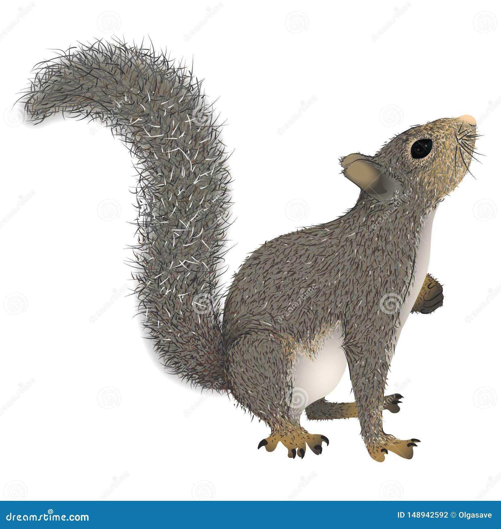 与查寻的蓬松尾巴的灰鼠