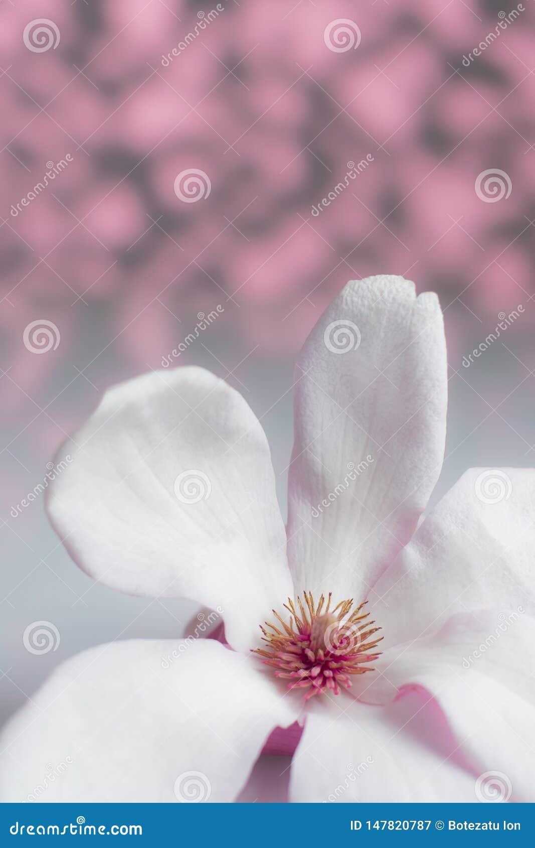 与桃红色和灰色背景的白色木兰