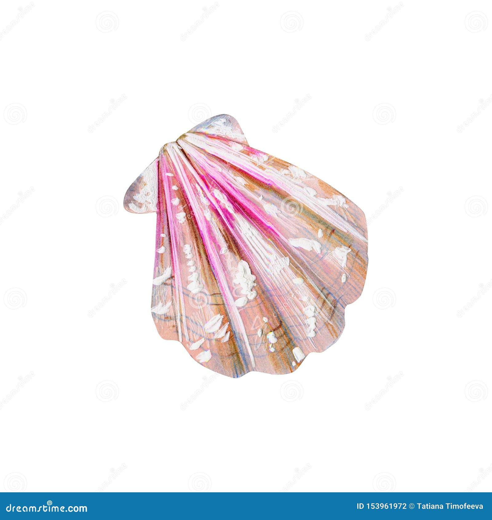 与桃红色海壳扇贝的珍珠母