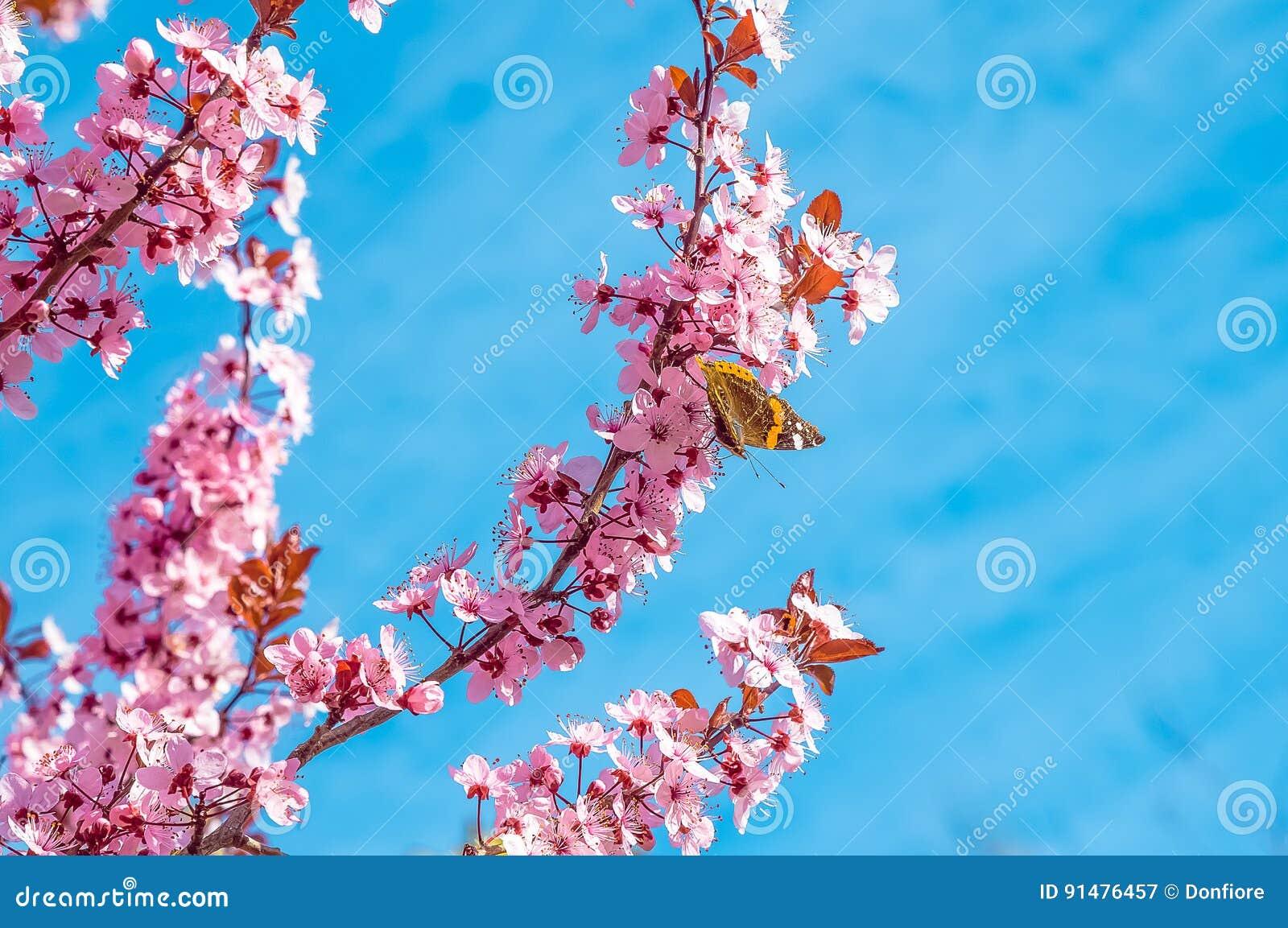 与桃红色的春天树开花有蝴蝶的杏仁开花在绿色背景的一个分支,在与每日光的蓝天