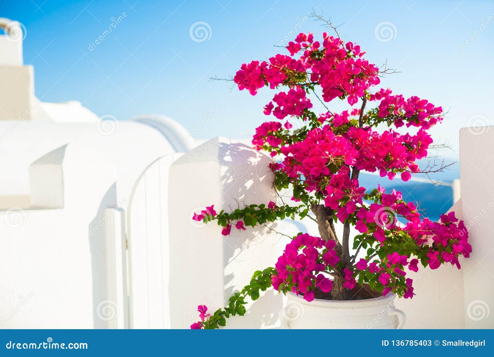 与桃红色花的九重葛树和在圣托里尼海岛,希腊上的白色建筑学