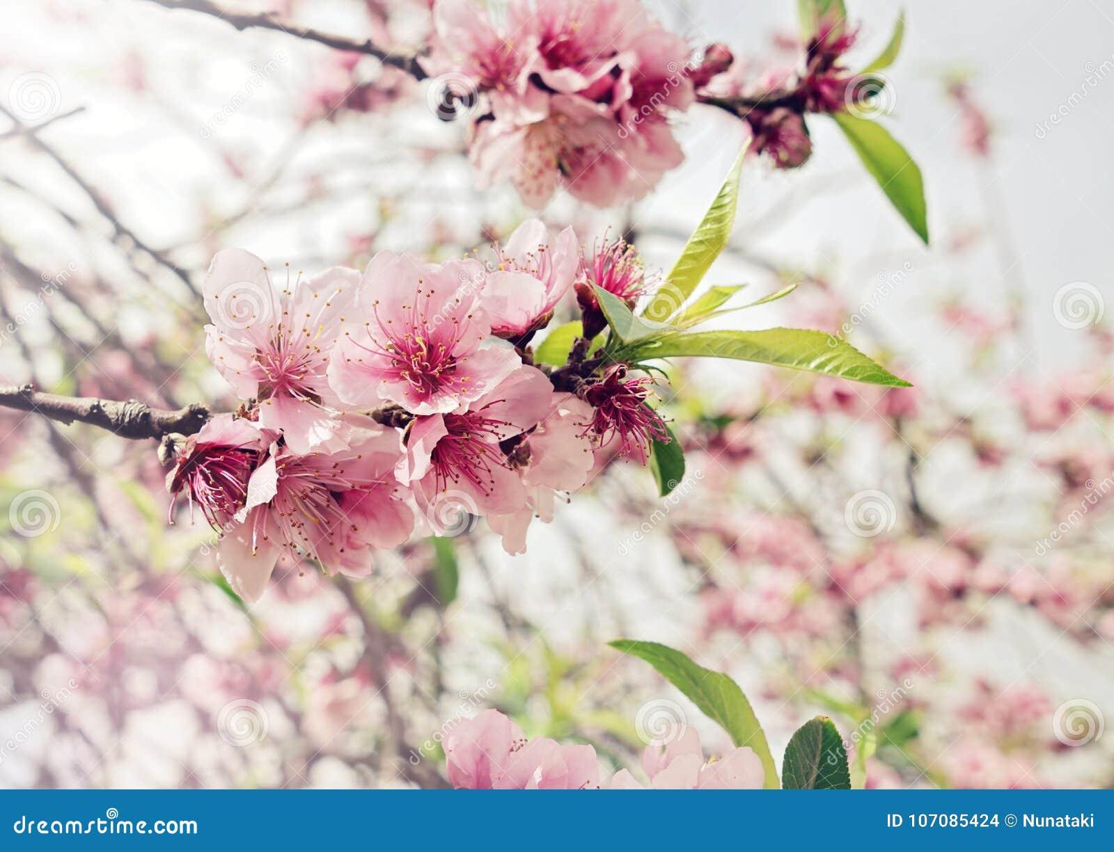 与桃红色芽和花的开花的樱桃分支