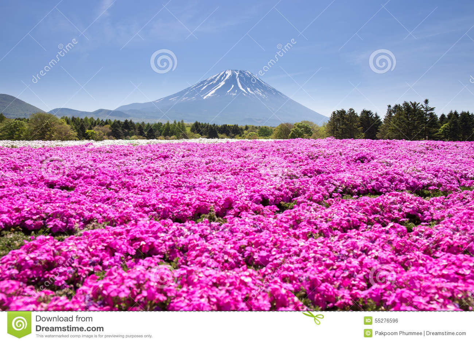 与桃红色青苔佐仓或有山的富士山梨,日本樱花的领域的日本Shibazakura节日