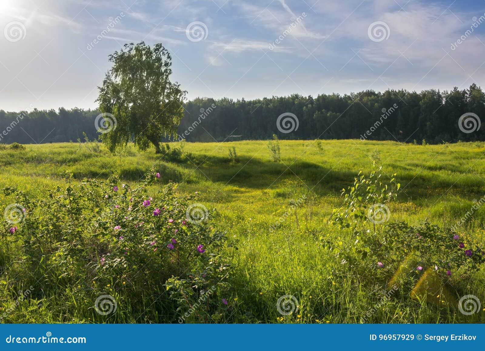 与桦树的夏天风景在领域