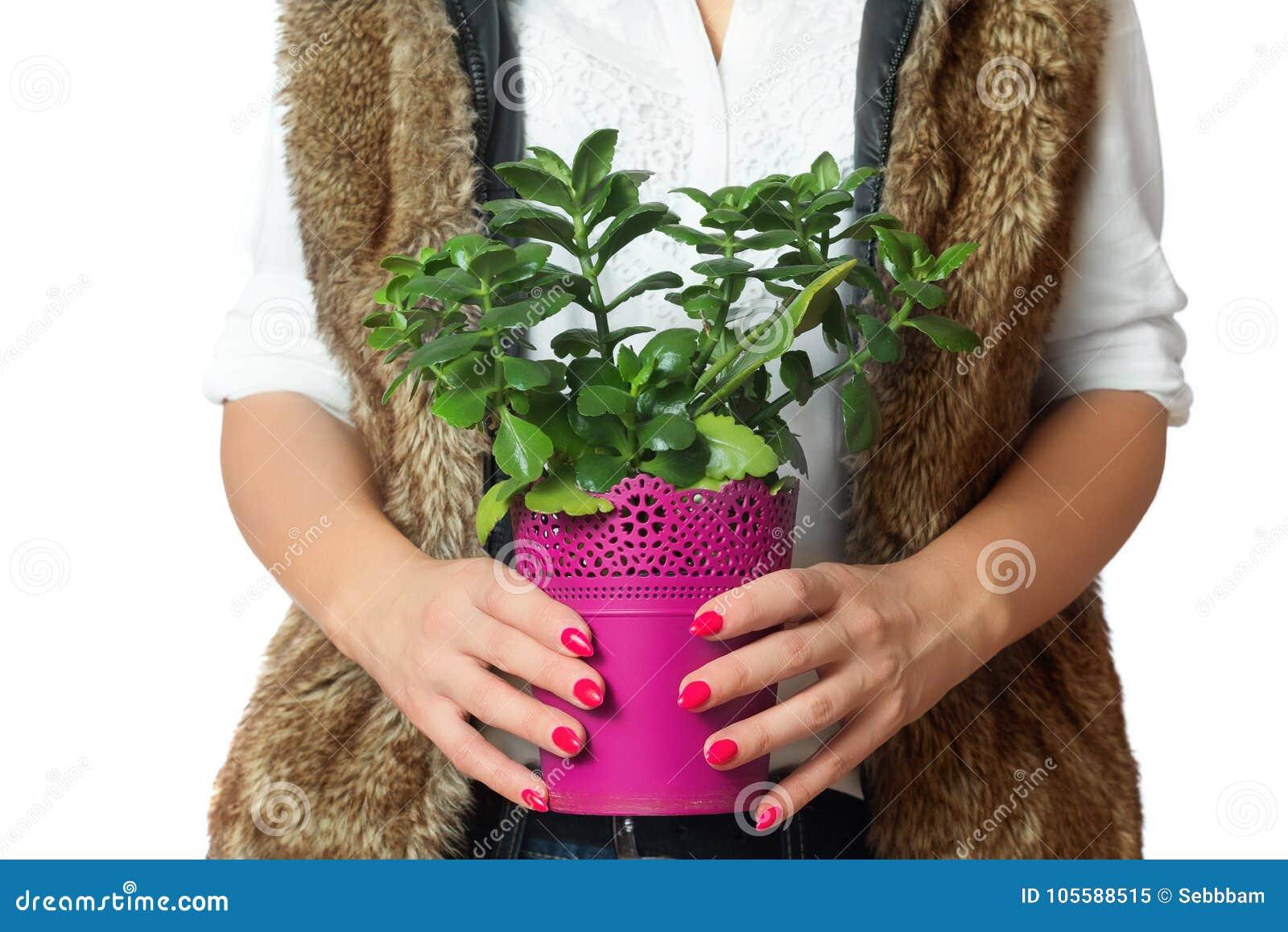 与植物的桃红色花盆在手中 查出的空白背景