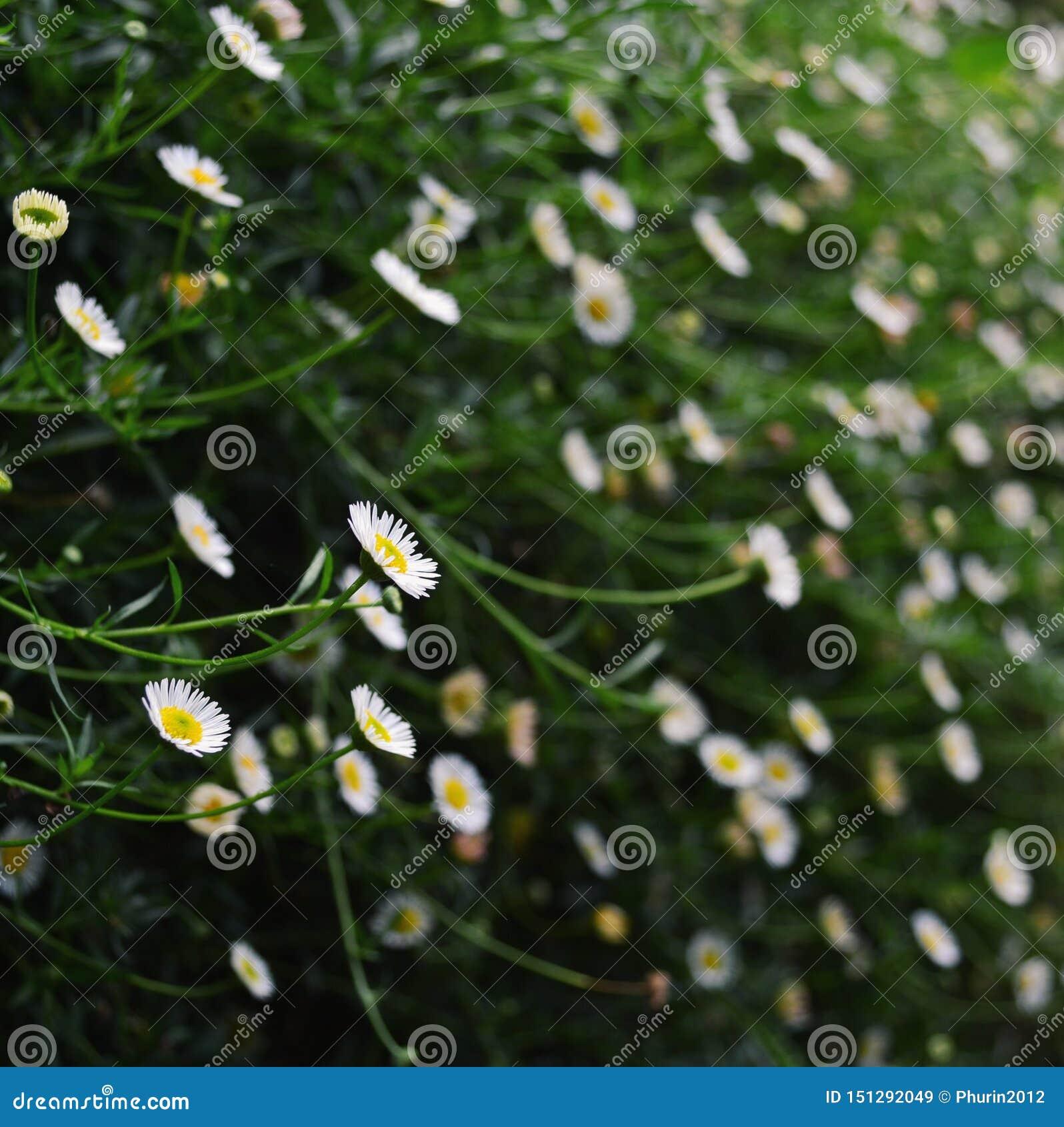 与模糊的微小的白花