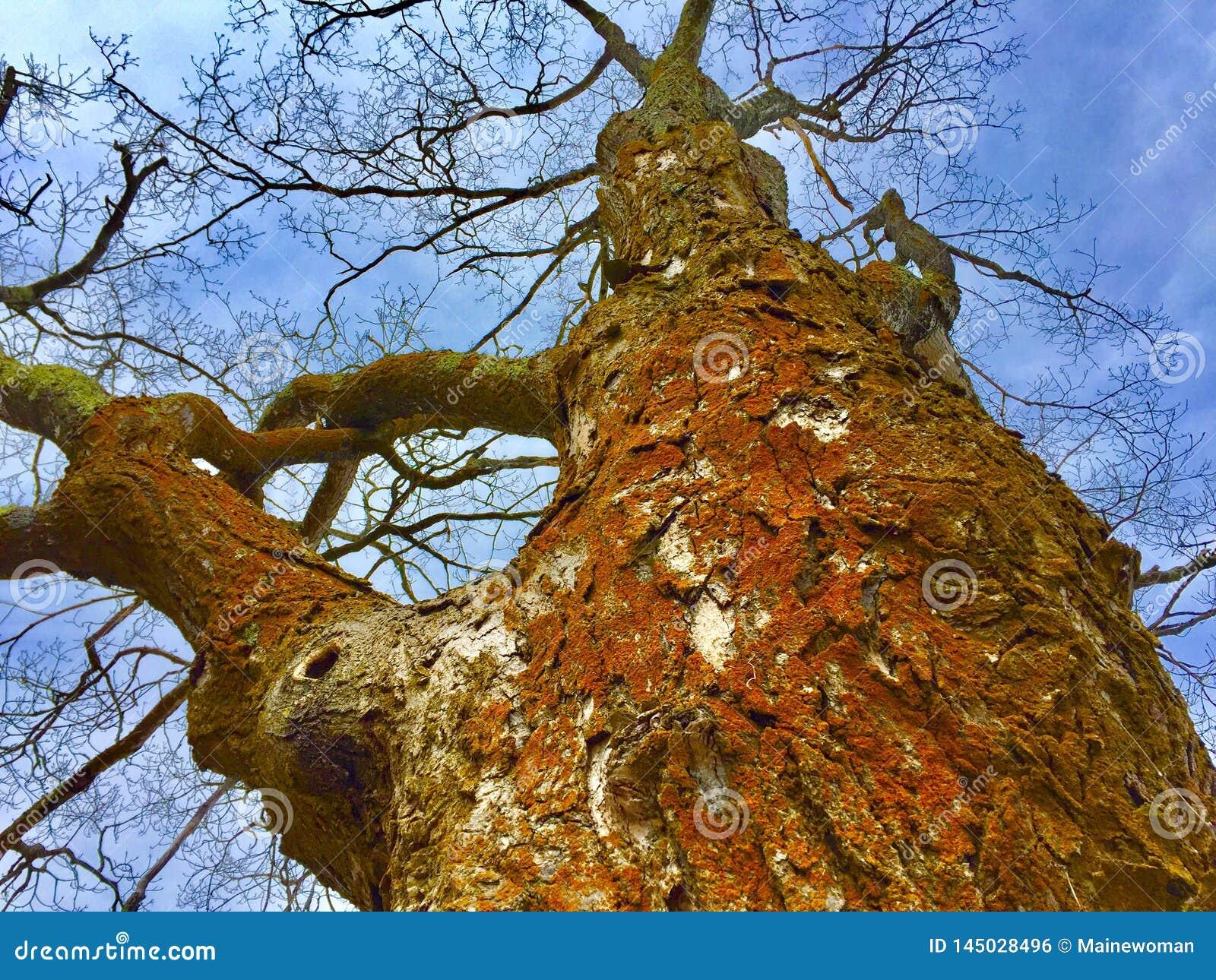 与橙色真菌和啄木鸟孔的大树