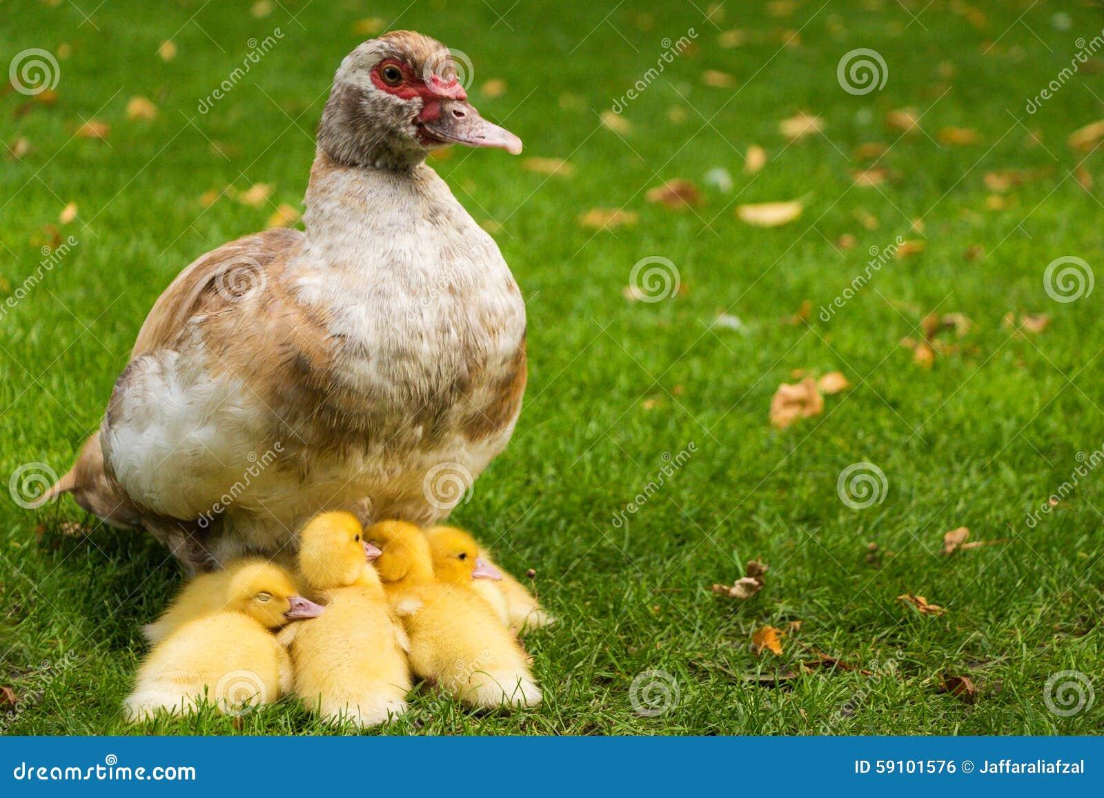 与母亲的鸭子