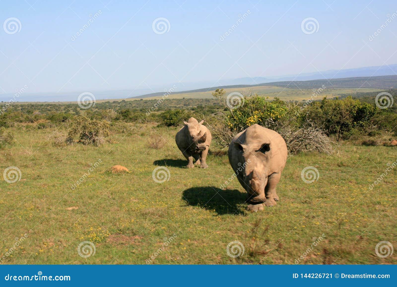 与母犀牛的充电的公白色犀牛在背景中