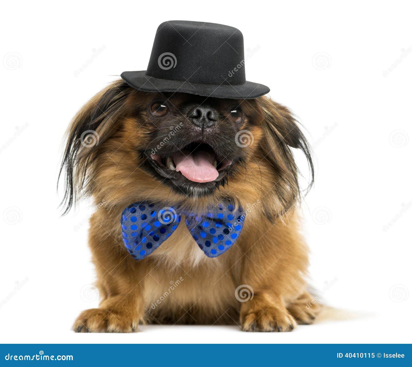 与气喘的蝶形领结和高顶丝质礼帽的Pekingese,说谎和