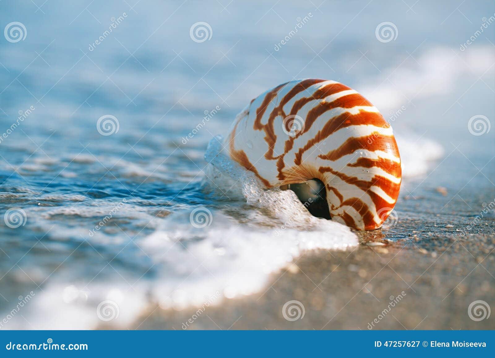 与海波浪,在太阳ligh下的佛罗里达海滩的舡鱼壳