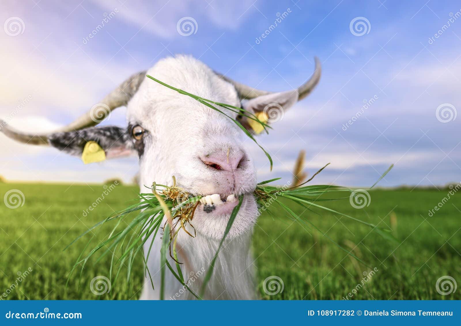 与滑稽的牙和草的山羊在嘴
