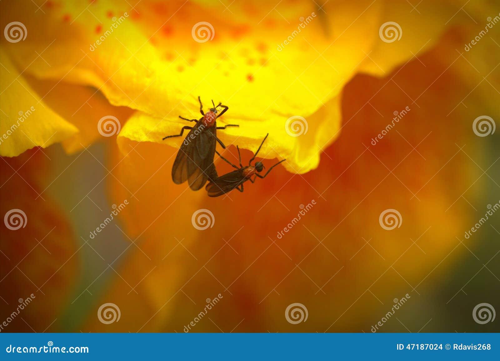 与爱臭虫的黄色Cana百合
