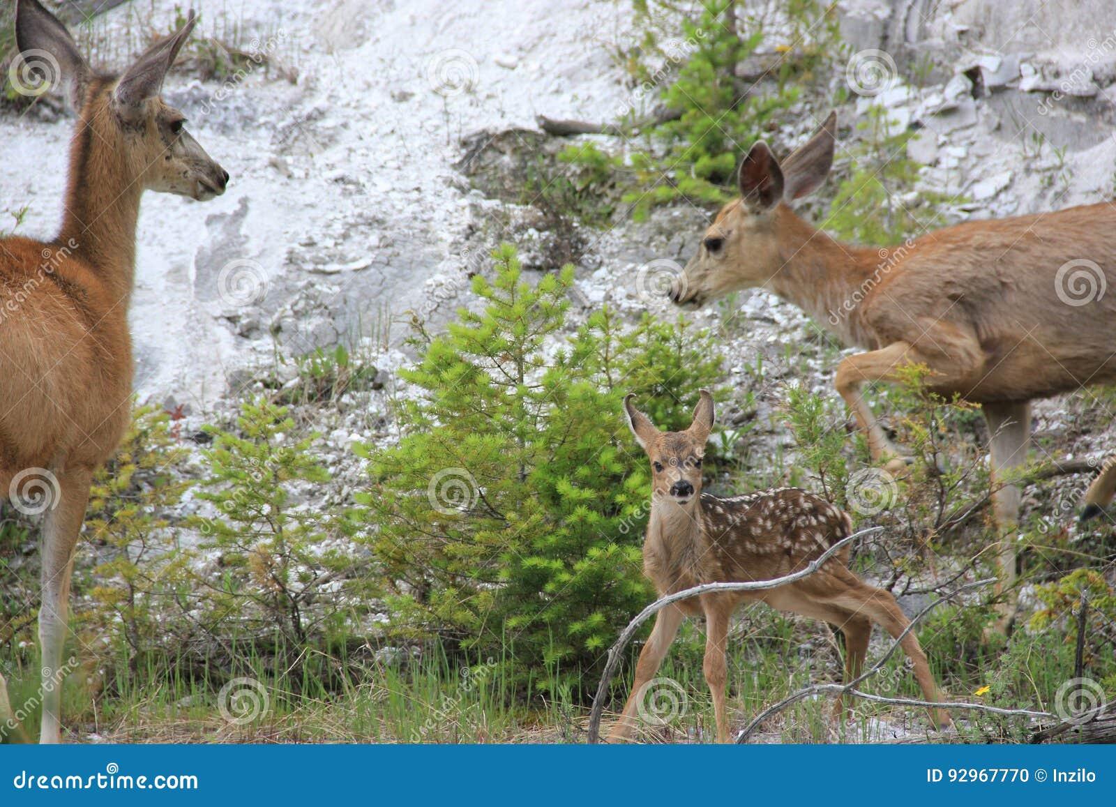 与父母的Bambi黄石国家公园的