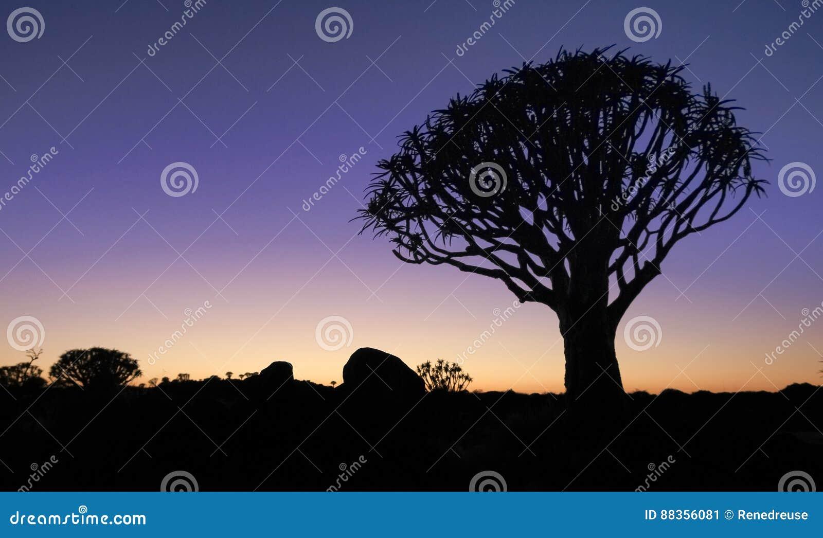 与现出轮廓的颤抖树的美好的非洲日落夜焕发