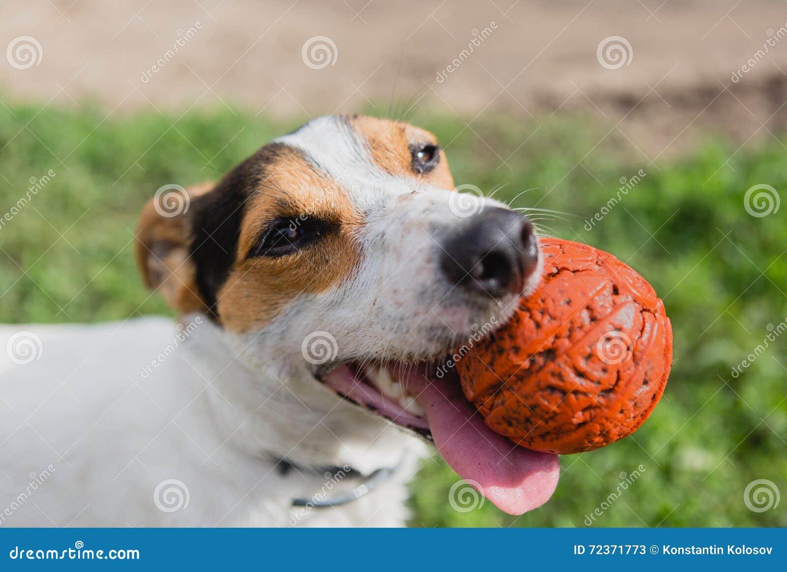 与球的狗在嘴