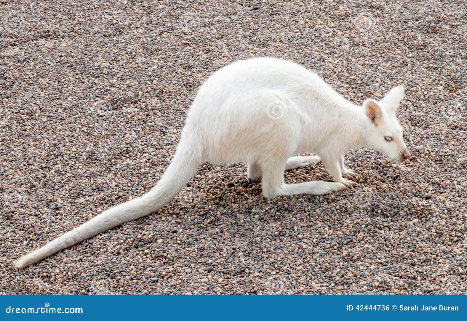 白白色家庭乱伦_与白变种基因的白色红收缩的鼠在澳大利亚