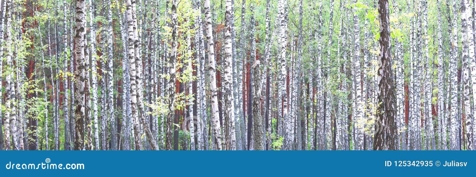 与白桦吠声的桦树在有绿色桦树的桦树树丛在夏天离开