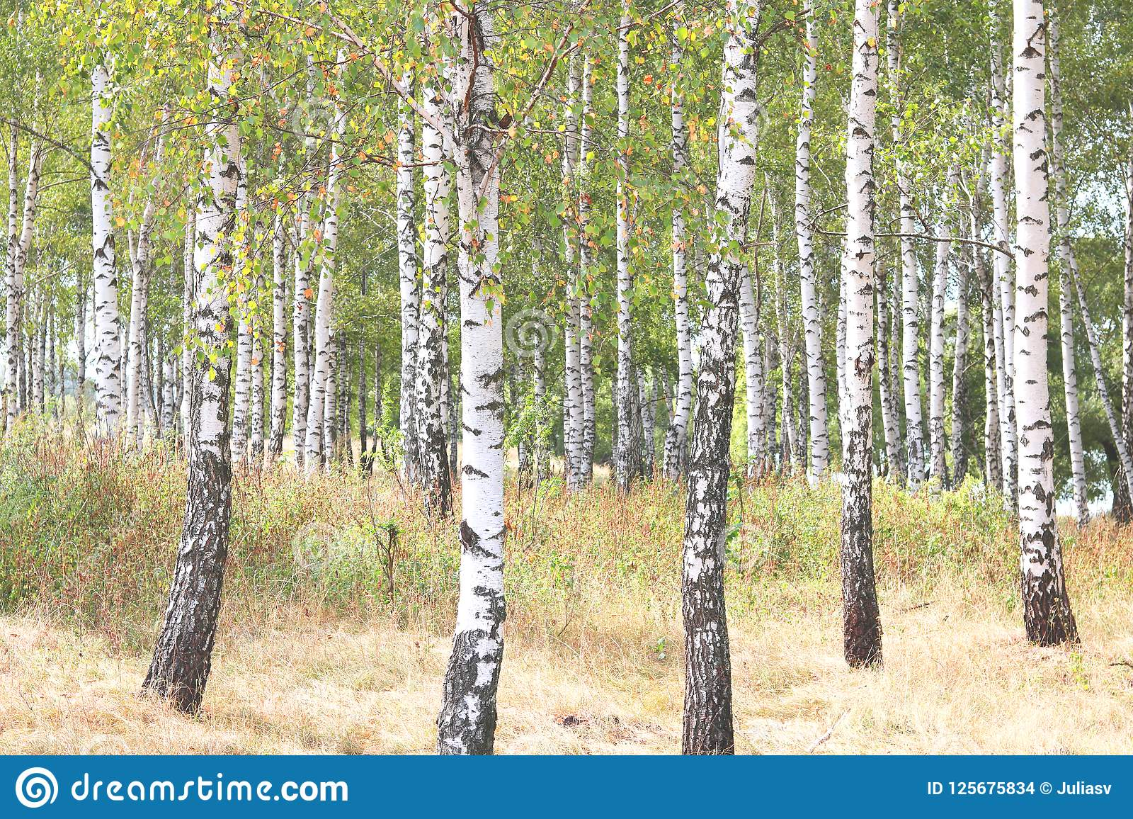 与白桦吠声的美丽的桦树在有绿色桦树的桦树树丛离开