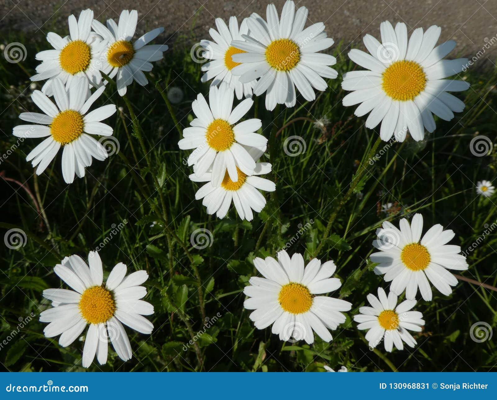 与白色开花的延命菊花在草甸