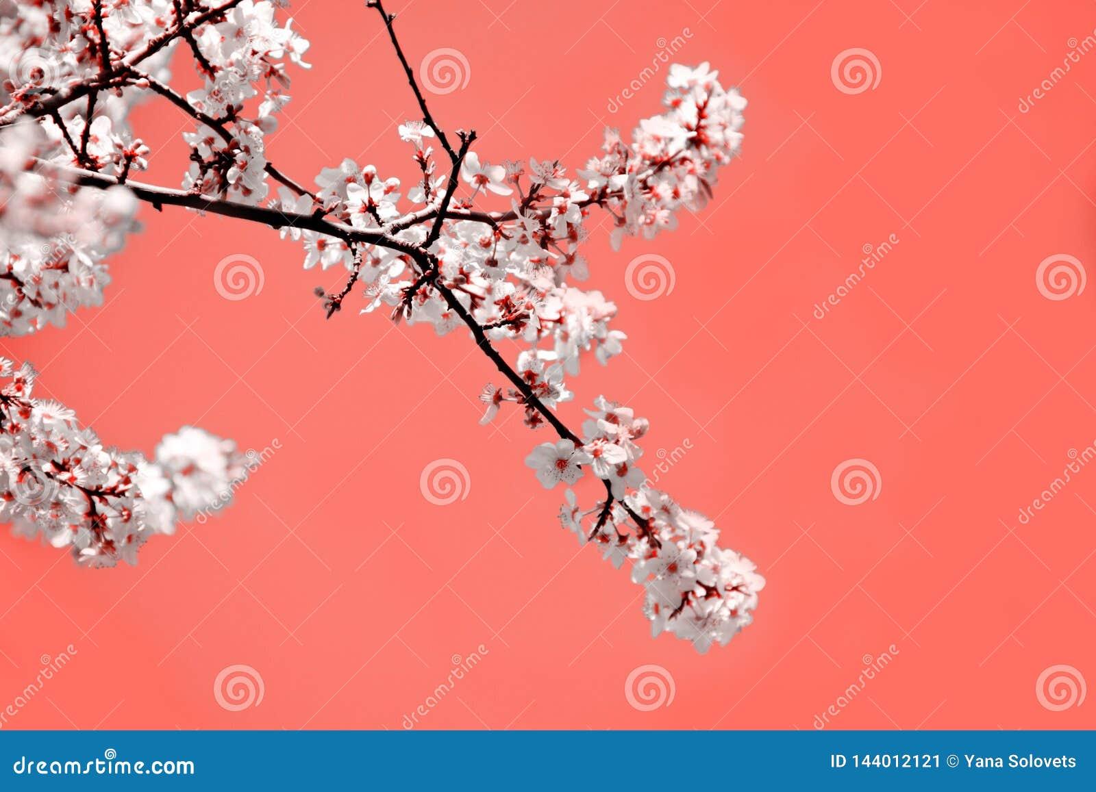 春天心情 与白色开花的樱桃花的珊瑚背景为假日