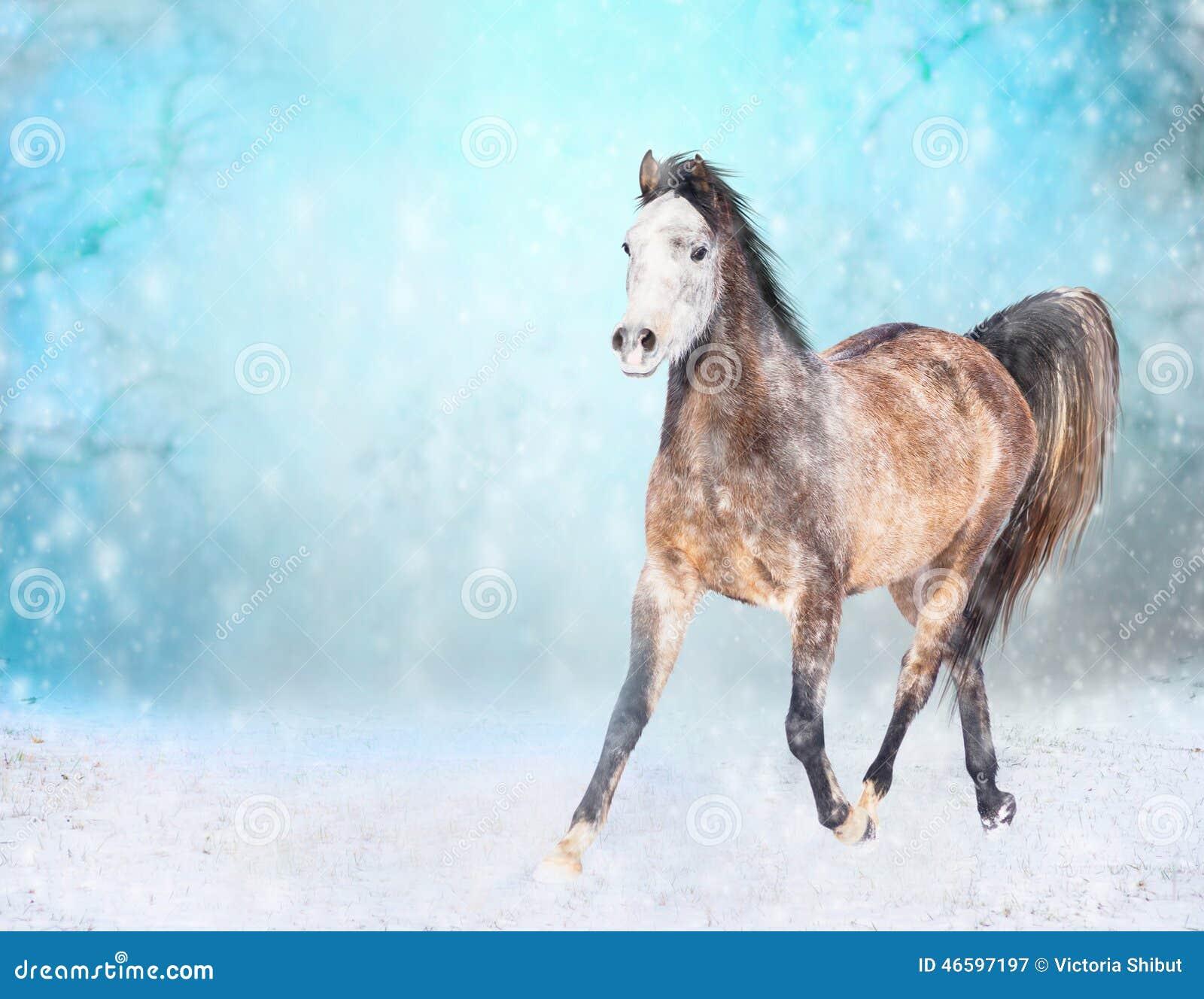 与白色顶头奔跑的布朗马在多雪的冬天小跑