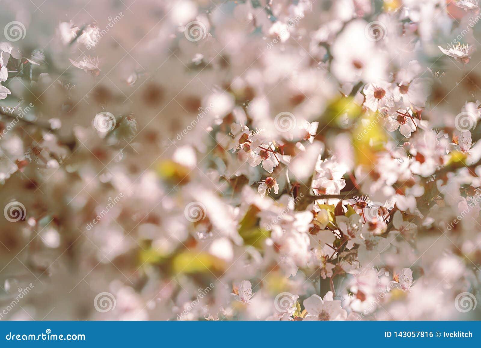与白色,桃红色花在早晨阳光下和阴影,被弄脏的阳光的开花的树 r 春天开花花