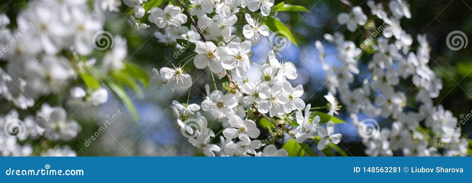 与白花的苹果树分支在被弄脏的背景