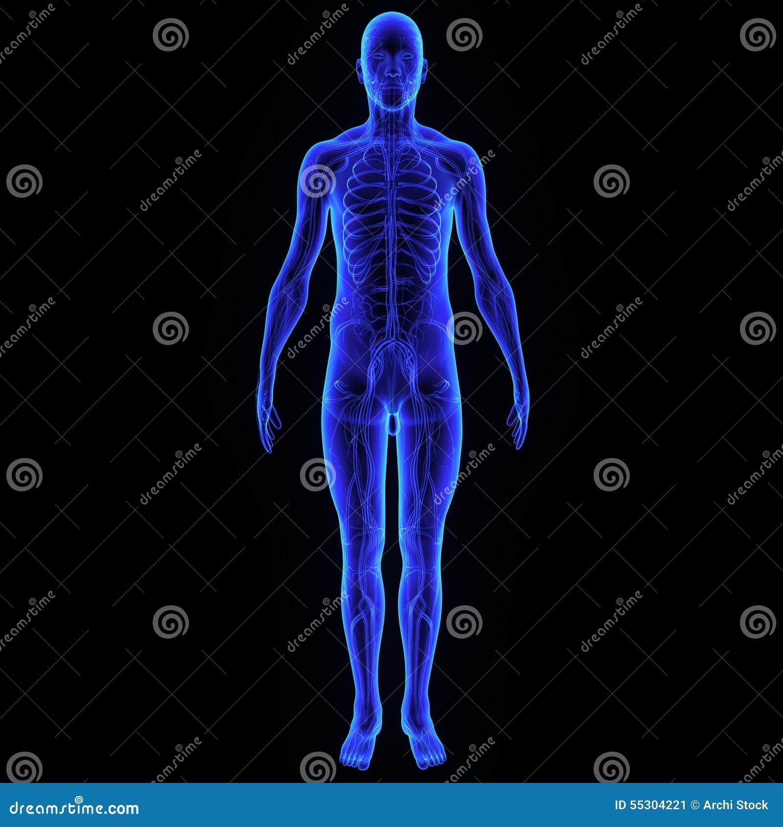 人体包括人的整个结构并且包括一只头,脖子,树干,胳膊和手,腿和脚图片