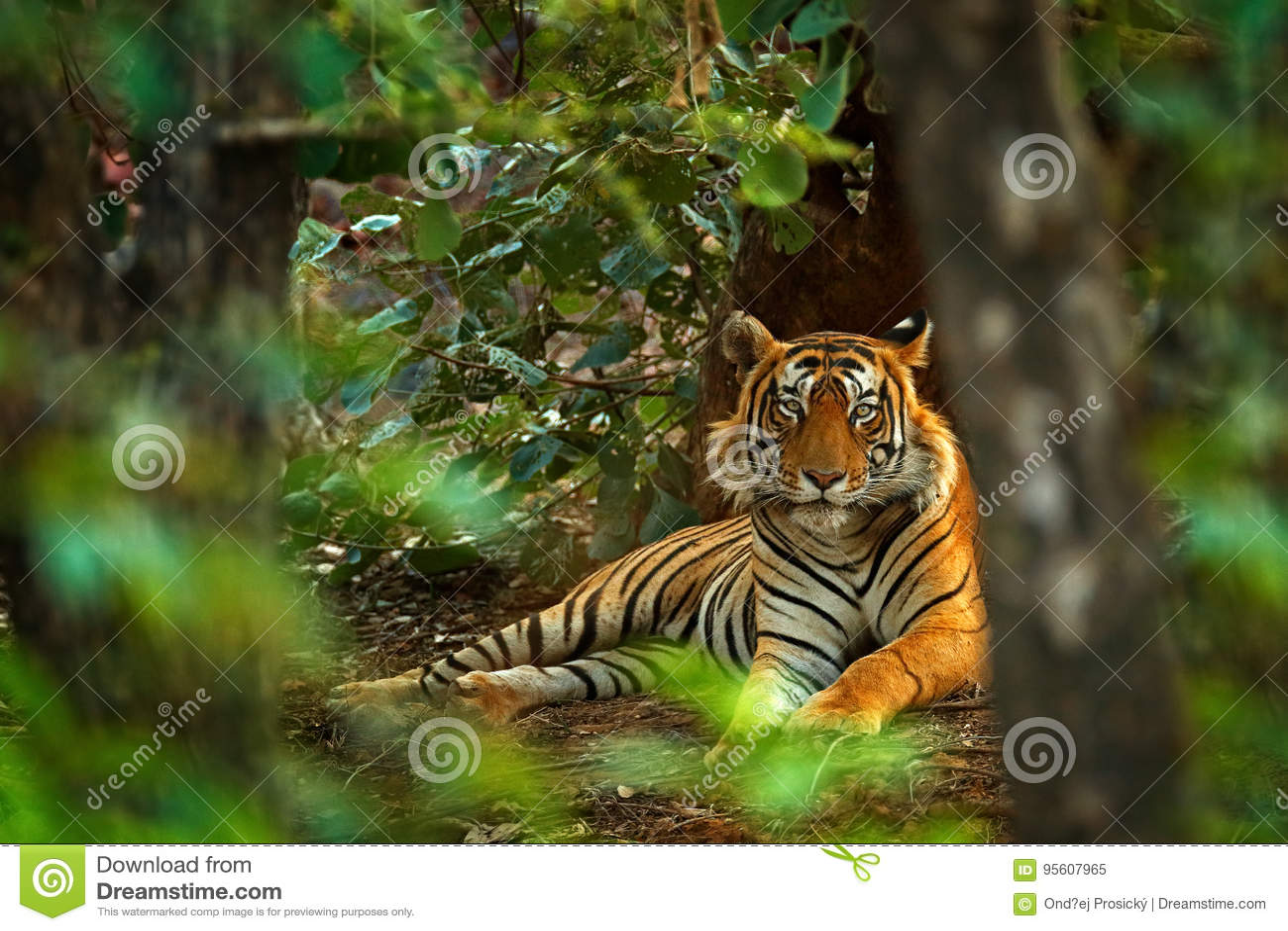 与第一雨,野生动物在自然栖所, Ranthambore,印度的印地安老虎男性 大猫,危险的动物 干燥s的结尾