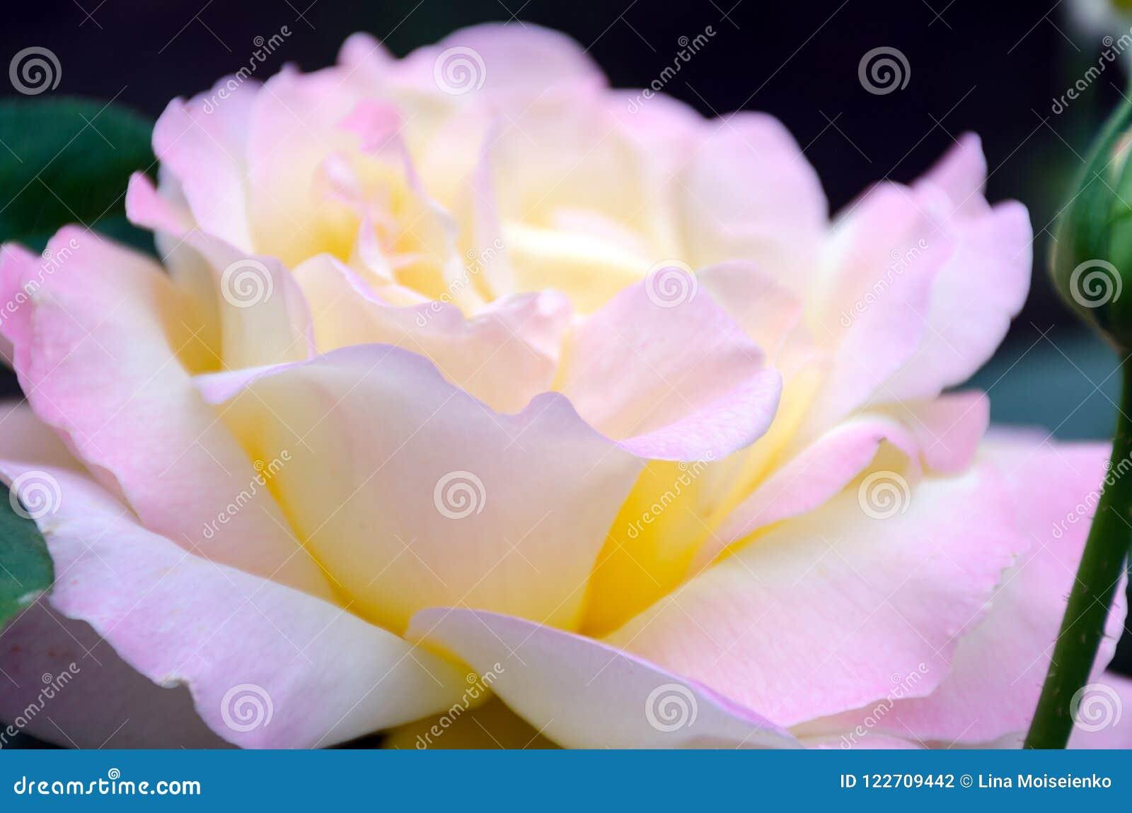 与紧密浅景深的图象-开花的桃红色玫瑰,柔和的瓣